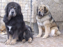 Mastiff de Tibet, gratuitati, detalii in anunt