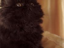 Pisicute persane bucuresti