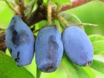 Lonicera coerulea Kamtschatica Wojtek – fructe de miere, Hon