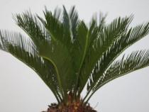 Palmieri cycas