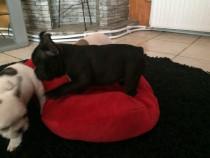 Bulldog francez femele&masculi negri!!