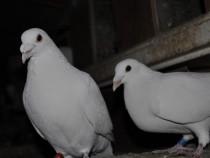 Inchiriez porumbei voiajori albi pentru nunti