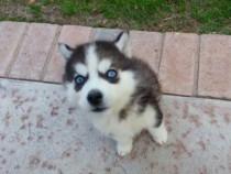 Husky ochii albaștri rasă pură culoare standard kkk