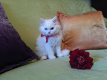 Superb! pisicuta persana. vaccinata. pui mic pisica doll-