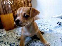 Chihuahua pui