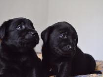 Pui labrador cu pedigree (negru)