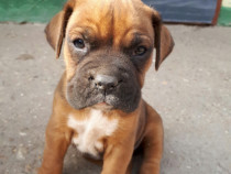 Boxer german 4 luni