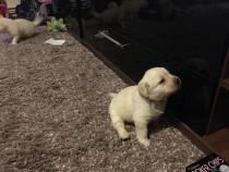 Labradori cu pedigree tip A, ideali pentru cadoul de craciun