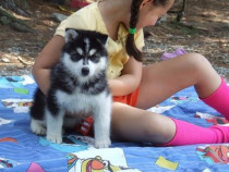 Akc înregistrate câini Husky Siberian