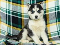 Ciobănesc de câine Husky cu pedigree