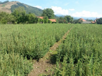 Puieți forestieri de molid, apți de plantat