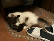 Pui de pisica persana-british shorthair