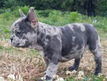 Pui bulldog francez blue merle !!!