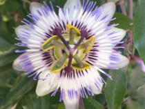 Set 5 butași Passiflora - Floarea Pasiunii Fructul Pasiunii