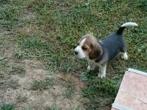 Cățelusa Beagle