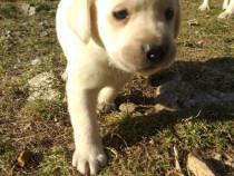 Labrador Golden