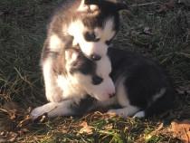 Husky Siberian cu ochii albastrii