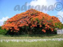 10 Seminte Delonix regia Royal Poinciana Flame Tree