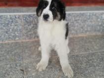 Câine și câtelusa de Bucovina