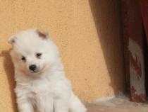 Pui Spitz ( Pomeranian)