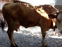 Vaci de lapte