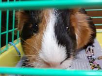 Porc de guinea