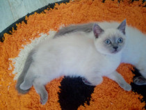 Pisici Scottish fold și british shorthair