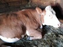 Vaca baltata românească