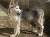 Pui Husky Siberian ochii albastri