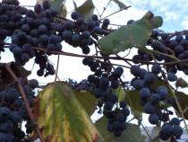Struguri hibrid de vin