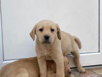 Labradori aurii