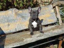 Puiut bulldog francez blue