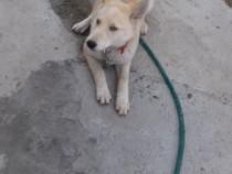 Cățelușă Husky siberian