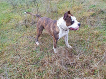 American Staffordshire Terrier ( Amstaff )