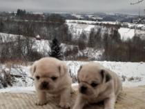 Mops pug alb cu pedigree
