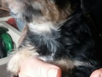 Catelusi yorkshire terrier