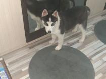 Husky siberian cu carnet de sanatate