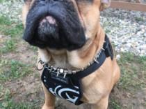 Mascul Bulldog Francez disponibil