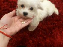 Bichon Maltese mini toy