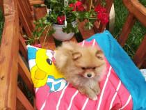 Băiețel Pomeranian Talie mica