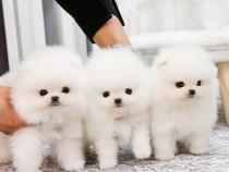Pomeranian spitz-talie mica,catei pufosi,pentru apartament