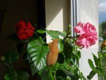 Trandafiri japonezi
