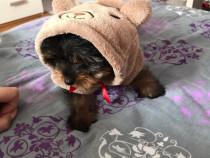 Yorkshire Terrier toy e rasa pura cu vaccin și deparazitați.