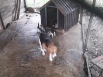Căței Beagle
