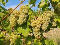 SOUVIGNION SI MERLOT struguri pt vin