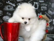 Pomeranian Micro toy