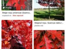 Ghinda, seminte stejar rosu