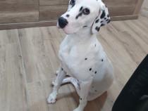 Dalmatian 1 an