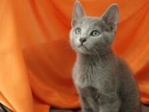 Pisici albastru de rusia bucuresti brasov iasi cta galati tm