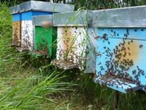 Familii de albine / roiuri